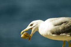 Seagull. Wildlife Crimea, brazen seagull stealing meat Stock Photos