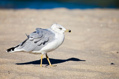 Seagull on the wind. Single seagul close up at day time Royalty Free Stock Images