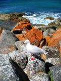 Seagull in Wineglass Bay Stock Photos