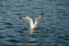 Seagull wings. A seagull floating on the water Stock Photography