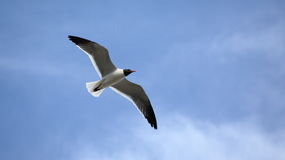 Seagull with wings spread against a blue sky. And clouds Stock Photos