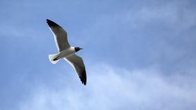 Seagull with wings spread against a blue sky. One Seagull with wings spread against a blue sky Royalty Free Stock Image