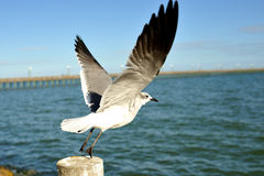 Seagull wings Stock Images