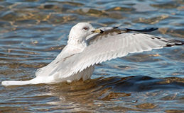 Seagull Wings Royalty Free Stock Photo