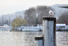 Seagull in the Winter Stock Photo