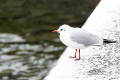 Seagull in winter Stock Photos