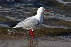 seagull woda Zdjęcia Royalty Free