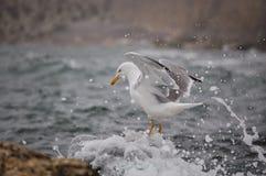 Seagull wody krople Zdjęcie Royalty Free