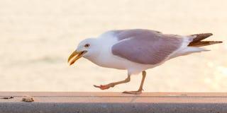 Seagull wokoło jeść chleb na wypuscie blisko nawadnia Zdjęcia Royalty Free