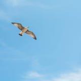 Seagull Wolność Lato Zdjęcie Stock
