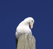 Seagull on wood piling Stock Image