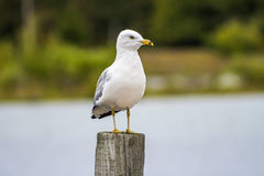 Seagull on the woodden post royalty free stock image