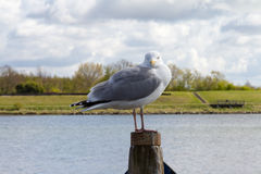 Seagull. A Seagull on a wooden beam Stock Photos