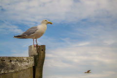 Seagull on a wooden boat Royalty Free Stock Photography