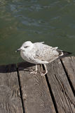 Seagull on the wooden deck. Of Venetian Canal Stock Photos