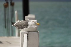Seagull on wooden pier. Portrait of seagull on wooden pier Stock Image