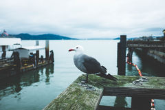 Seagull on wooden pier Stock Images