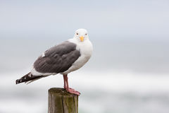 Seagull on wooden piling Stock Image
