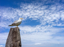 Seagull on the wooden pillar Stock Images