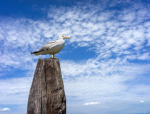 Seagull on the wooden pillar Royalty Free Stock Photography