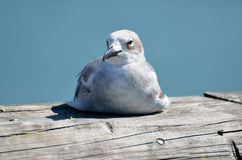 Seagull on wooden planks Royalty Free Stock Photos