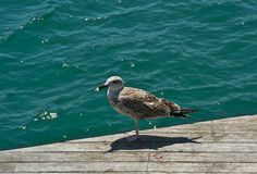Seagull on wooden platform Royalty Free Stock Images