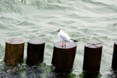 Seagull on wooden pole Stock Photography