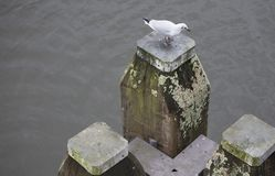 A seagull on a wooden poll in an Amsterdam Canal ,The Netherlands. A grey day, a seagull on a wooden poll in an Amsterdam Canal ,The Netherlands Royalty Free Stock Image