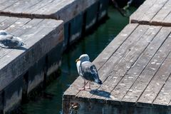 Seagull on wooden pontoon pier Stock Photography