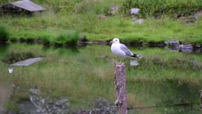 Seagull on a wooden post in the middle of the lake and greenery. stock video