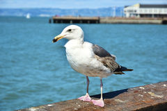 Seagull. On a wooden rail Stock Images