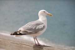 Seagull on a wooden rail Royalty Free Stock Image
