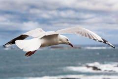Seagull wznosić się Zdjęcia Stock