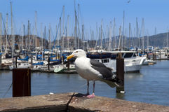 Seagull and yachts Royalty Free Stock Photography