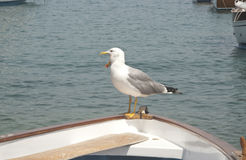 Seagull yawning. On the tip of a boat Royalty Free Stock Image