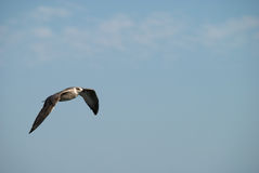 Seagull. A young seagull in flight Royalty Free Stock Photo
