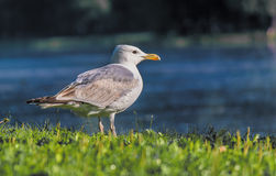 Seagull. Young gull on the river, which flows into the sea Royalty Free Stock Photography