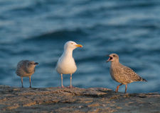Seagull with young not long out of nest. Adult European Herring Gull (Larus argentatus argenteus) with juveniles photographed in July, Dorset, England, UK Stock Photos