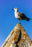 Seagull. Young yellow-legged gull with sky background Stock Photos