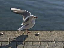 Seagull z rozciągniętymi skrzydłami Zdjęcie Stock