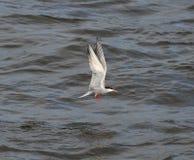 Seagull z skrzydłami podnoszącymi obrazy stock