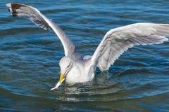 Seagull z zdobyczem zdjęcia stock
