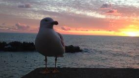 Seagull zakończenia obsiadanie na kamienia ogrodzeniu i patrzeć i złotym kolorowym zmierzchem przy tłem ciekawiącego, morza, zbiory wideo