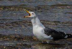 Seagull zamkni?ty up zdjęcie stock