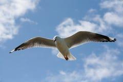 Seagull wznosić się Fotografia Royalty Free