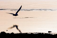Seagull zmierzch obrazy royalty free