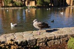 Seagull zostaje na ścianie Obraz Stock
