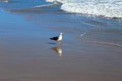 Seagull at Zuma Beach Stock Photo