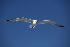 Seagull4 Royalty Free Stock Photo
