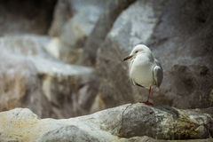 Seagullanseende Fotografering för Bildbyråer